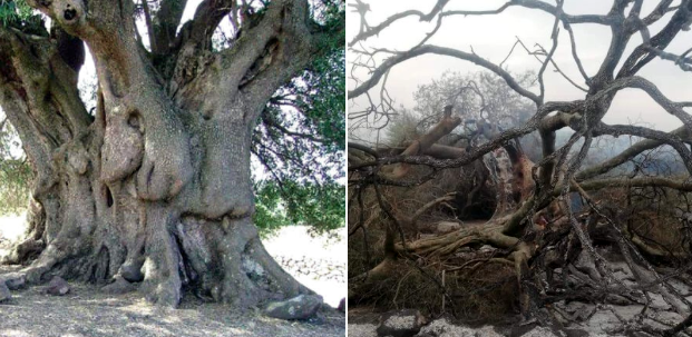 La Sardegna brucia: in cenere un albero millenario, migliaia di ettari  distrutti e persone sfollate