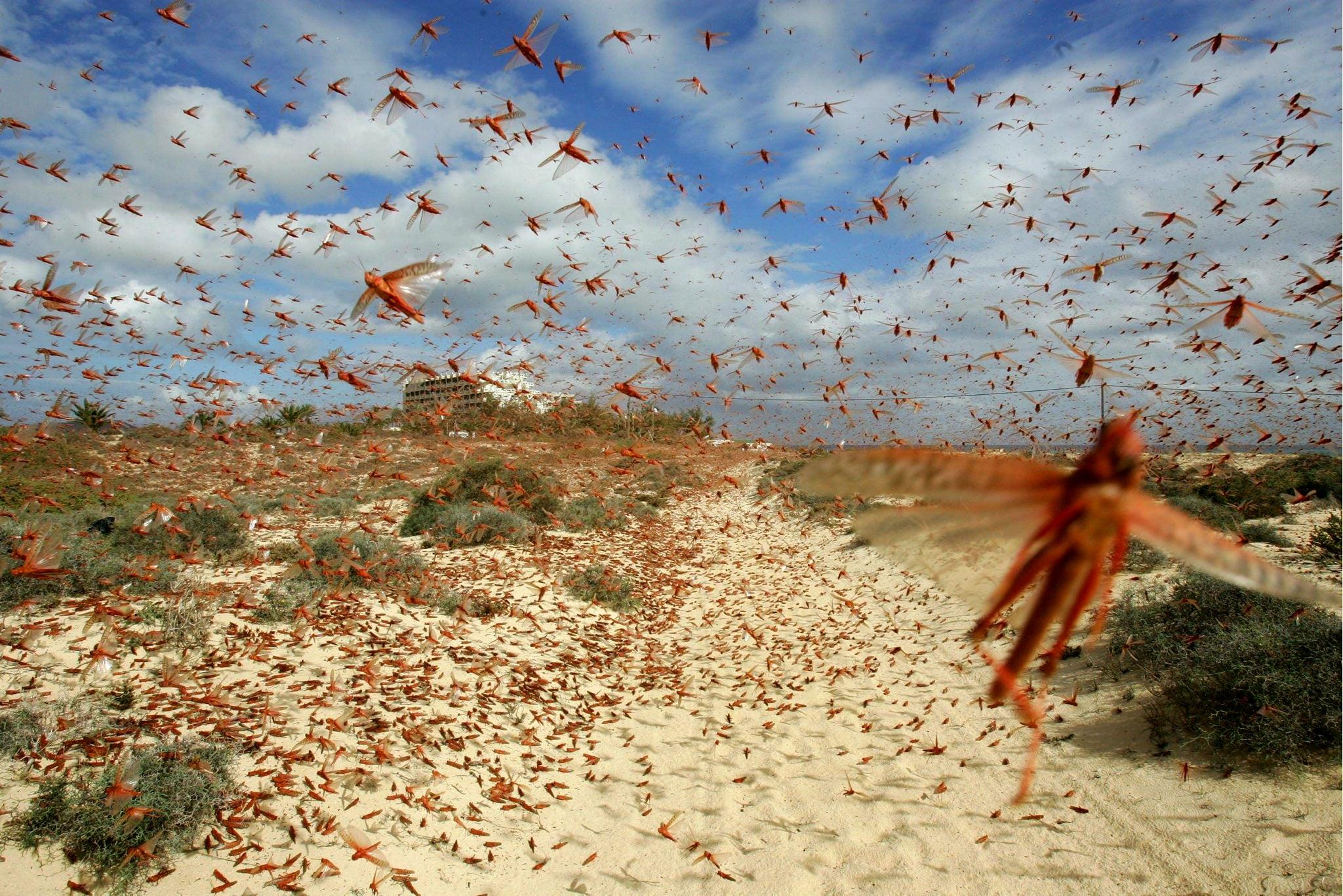 cavallette locuste-2
