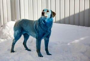 Blue-dog-2913545-2