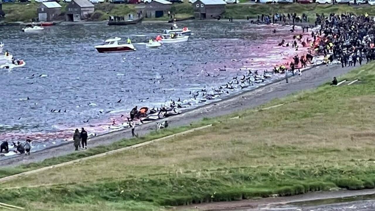 1.500 delfini massacrati a riva (anche con i trapani): il mare si tinge di rosso