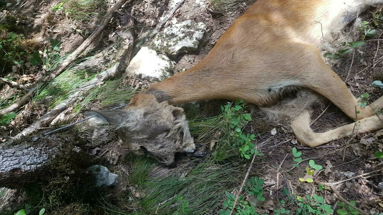 Animali soffocati con il laccio d'acciaio e carcasse nei freezer