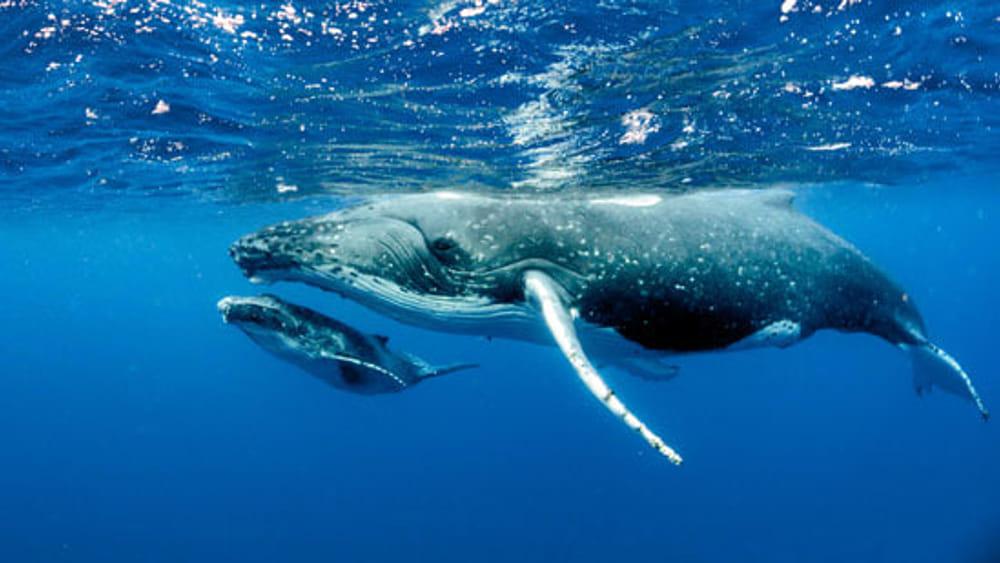 """Clima, la soluzione viene dal mare: """"Una balena vale migliaia di alberi"""""""