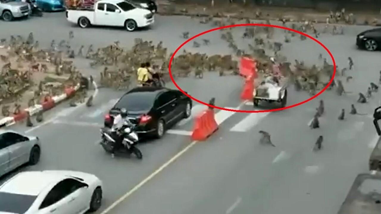 Due bande di scimmie si sfidano in città: la strana scena in Thailandia
