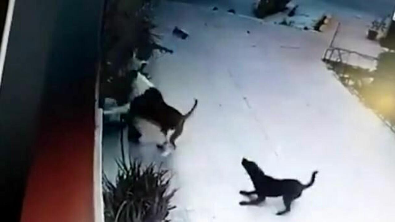 Bimba azzannata dal cane e trascinata per 50 metri: veterinaria di passaggio si lancia sull'animale e la salva