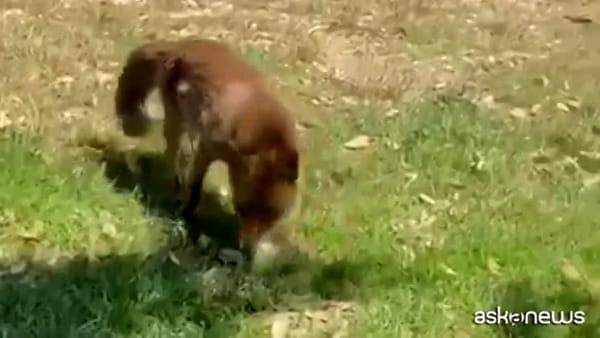 Ancora una volpe avvistata a Villa Pamphilj, affamata e accaldata