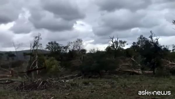 Tromba d'aria nella Duna della Feniglia: distrutti 1000 pini
