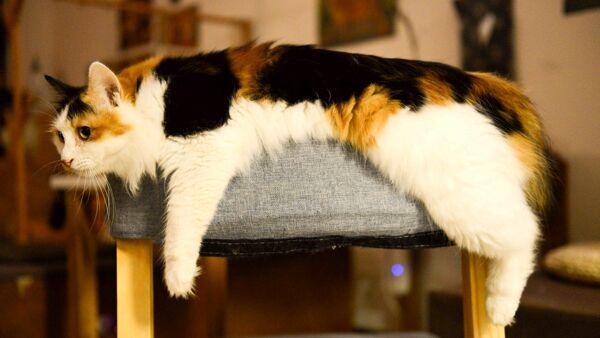 Le più grandi razze di gatti da appartamento