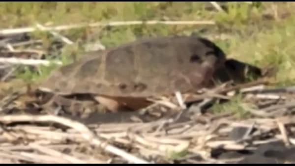Eccezionale nidificazione di Caretta caretta: lo spettacolo in un video