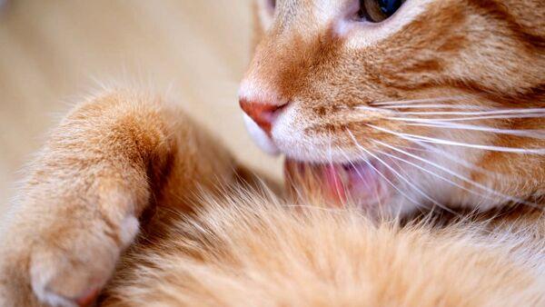 Igiene del gatto: come aiutarlo nella pulizia quotidiana