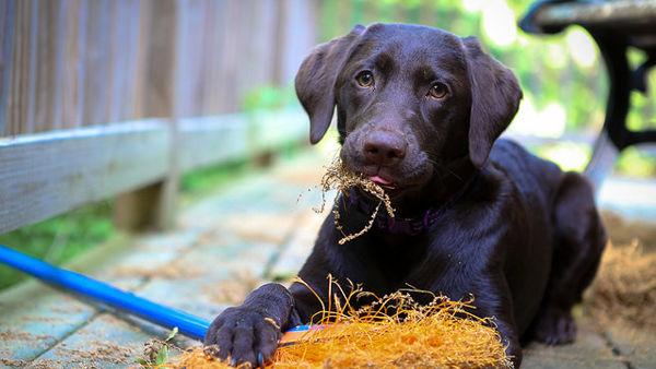 Come intervenire e far vomitare il cane in caso di ingestione sospetta