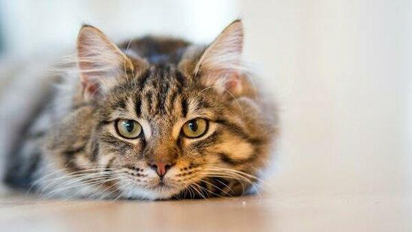 Quali sono e come funzionano i sensi dei gatti