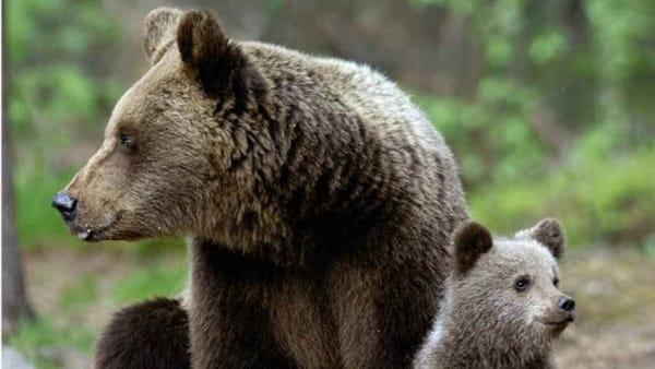L'orsa JJ4 non sarà uccisa: il Tar accoglie il ricorso degli ...