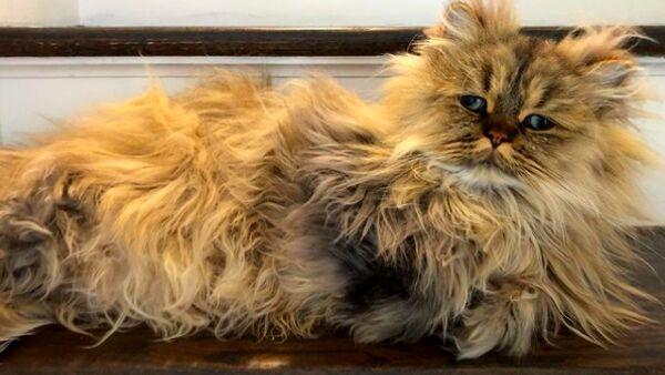 Barnaby, il gatto persiano dall'aspetto buffo che ha conquistato Instagram