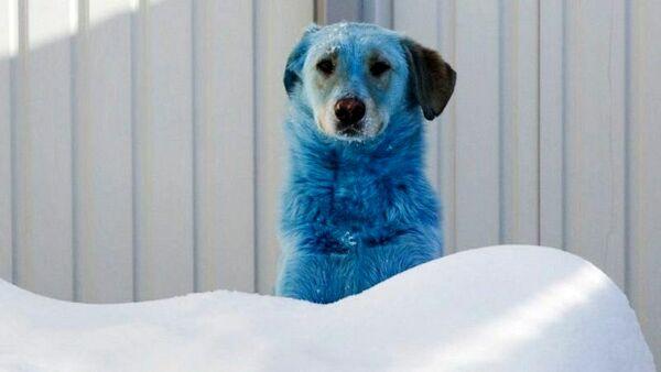 In Russia i cani stanno diventando misteriosamente blu, rosa e verdi