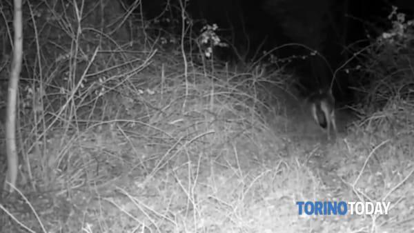 Tempo da lupi: gli animali scendono in collina alla ricerca di prede