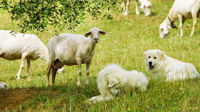 Cosa fare quando si incontra un cane da pastore durante le escursioni