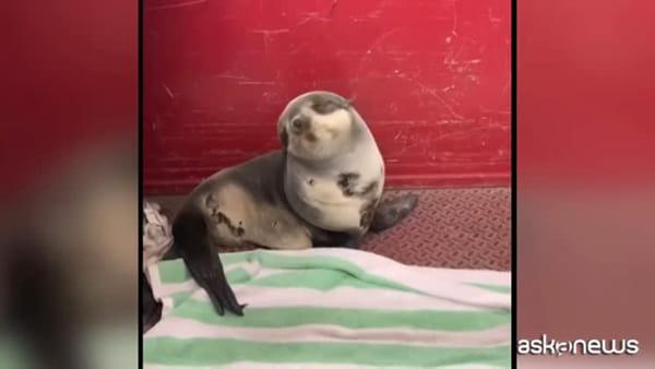 Il sonnellino del cucciolo di foca appena salvato è virale