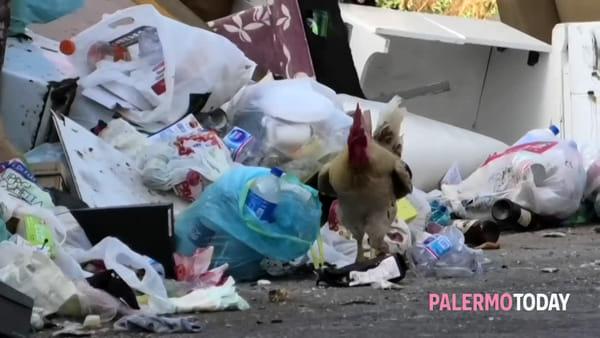 Palermo, il gallo canta (e banchetta) tra i rifiuti