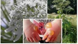 Non toccate questa pianta, provoca ustioni e cecità: allarme per la Panace di Mantegazza