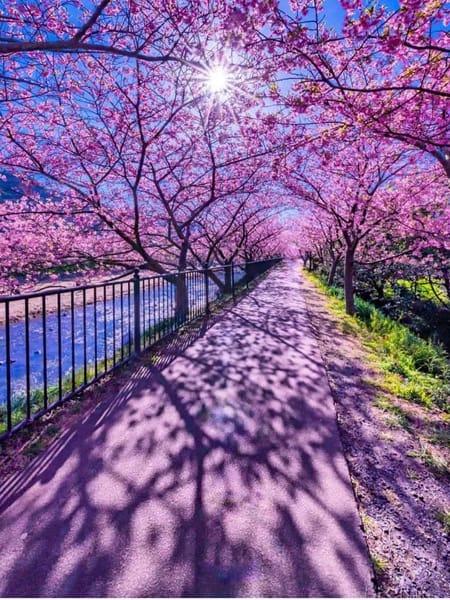 Quando arriva la primavera in Giappone... tutto si tinge di glicine